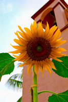 Huatulco Sunflower